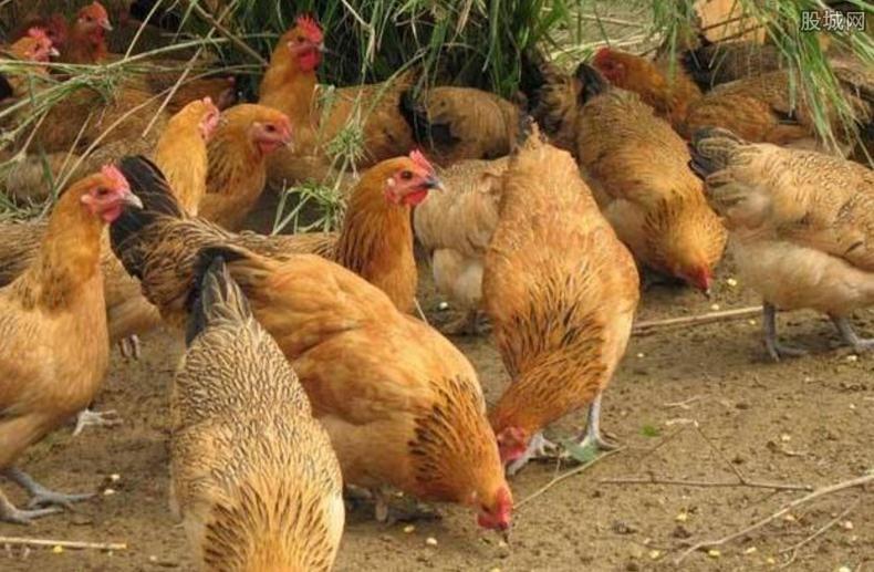 养1000只土鸡需要多少钱