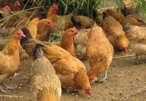 养1000只土鸡需要多少钱 养殖土鸡赚钱吗?