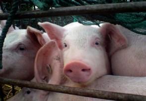 2020养猪补贴新政策 养50头猪可申领