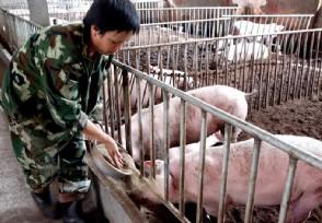 马云预言未来5年养猪前景 有望赚大钱吗?