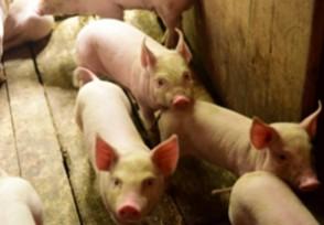 养猪需要办什么证四大证件一定要齐全