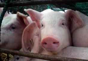 养猪一年能赚多少钱生猪市场需求大