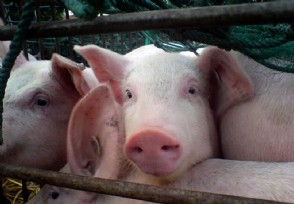 今年养猪的行情怎么样 还有赚钱的空间吗?