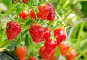 现在种植什么最赚钱这些小水果销量很高