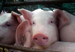 预测未来5年养猪前景还有钱可赚吗?