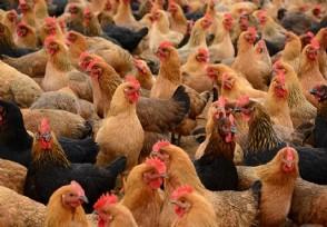 养土鸡赚钱吗需要注意哪些问题?